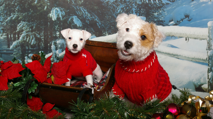 Greenwood Veterinarians - Poinsettias and Pets